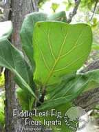 FiddleLeafFig