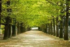 Ginko Tree Trail