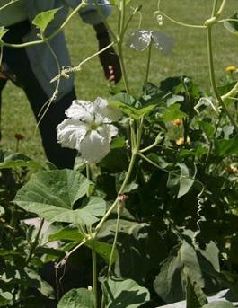 Birdhouse Gourd Blossom