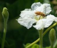 Gourd Blossom