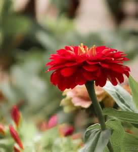 Red Zinnia