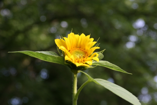 LoneSunflower