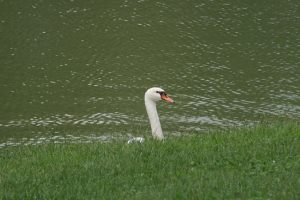 New Harmony Swan