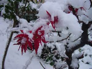 Japanese Maple in Snow