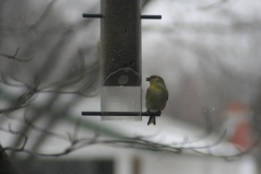Hungry Gold Finch