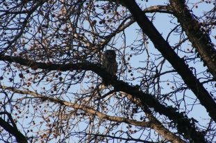 Barred Owl In The Neighborhood