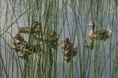 Momma Duck & Ducklings Island Lake July 2015