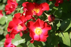 Rose Garden May 2016