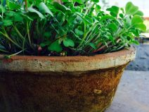 potted-microgreens