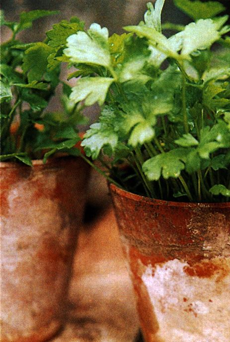 terracotta-pots-of-herbs