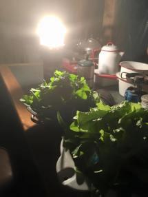 Harvesting Greens By Lantern Light
