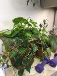 Philodendron Pots