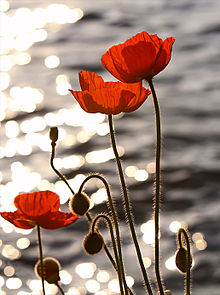Poppies_in_the_Sunset_on_Lake_Geneva