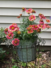Bucket of Blanket Flowers