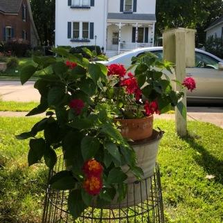 Lantana & Geranium Bucket