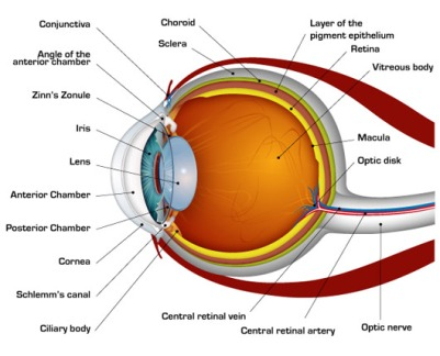 human-eye-diagram