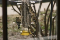 Flock of Gold Finches Feeding