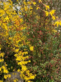 Forsythia & Red Budded Bush