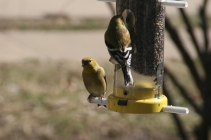 Pair of Gold Finch
