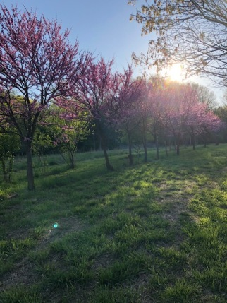 Red Bud Trees at Boone Hollow Farm