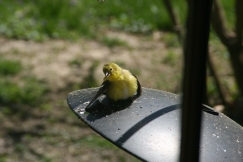 baby goldfinch April 20 2020